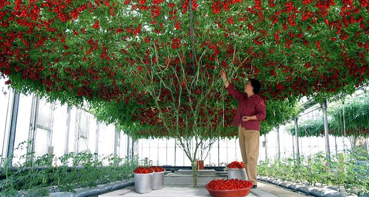 Լոլիկի հրաշալի ծառ, որն աճեցրել են Իսրայելում. լոլիկի հատուկ տեսակ