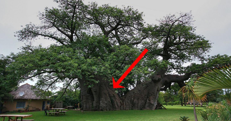 Այս ծառը 6000 տարեկան է. տեսեք, թե ինչ գաղտնիք է այն իր մեջ պարունակում